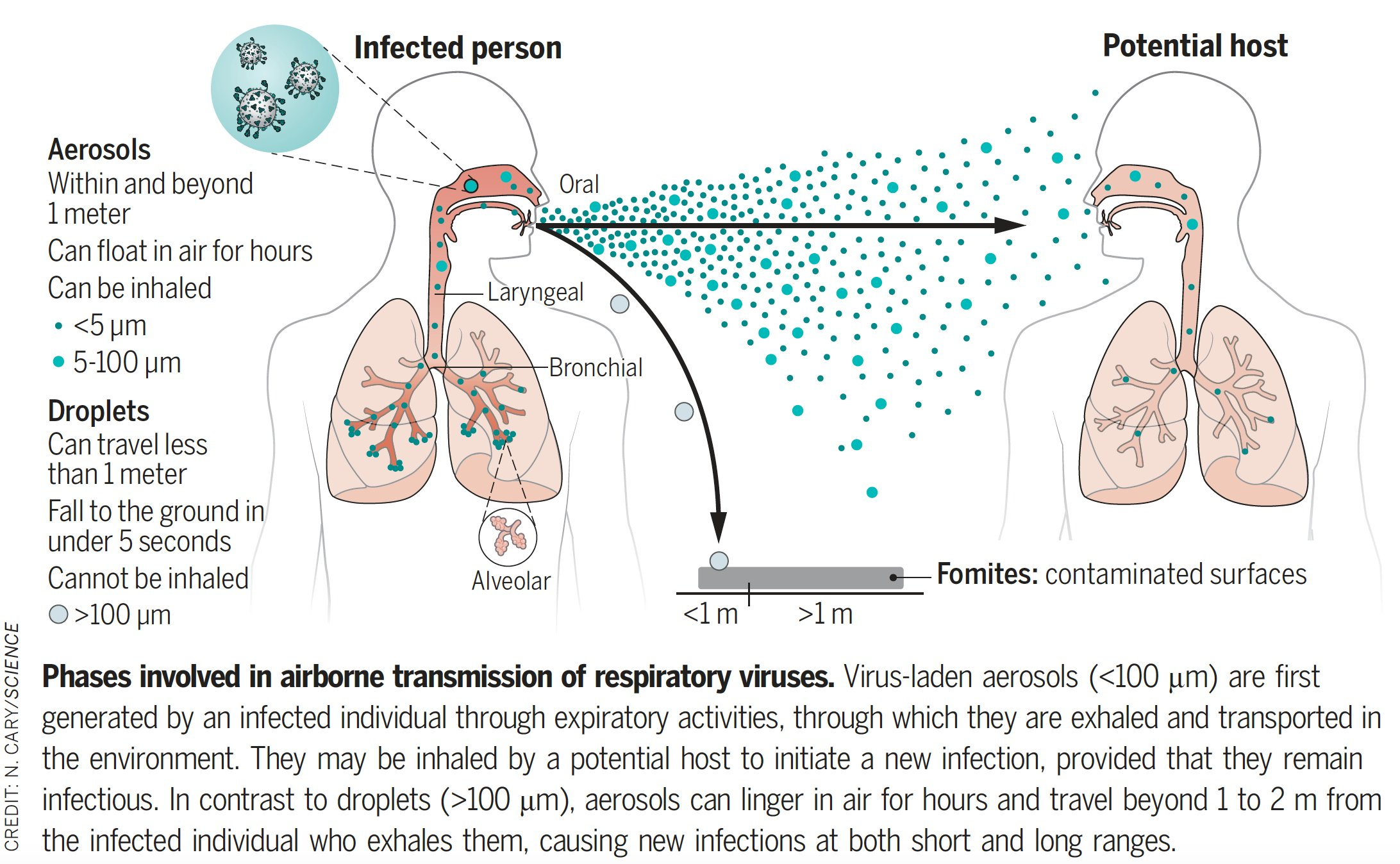 """Diagram showing aerosol particles coming from one person's mouth (the """"Infected person"""") and spreading out into the air. The largest particles fall down, and the small and middle-sized ones float in the air, towards another person (the """"Potential host""""). The drawings of the people include a diagram of their lungs, and each of them has the particles dotted through their lungs, the first person more so. It shows that the second person has breathed in some of the air from the first person. A close-up of one of the first person's particles shows it has viruses in it."""